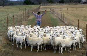 Sheep_herding